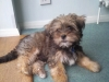 Shorkie, 3 Months, Brown,Black,Tan