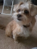 Shorkie, 1 yr, tan, white, black