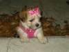 Shorkie, 9 weeks, Blonde, apricot, black, grey and white