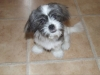 Shorkie, 6 months, black/grey/caramel and white