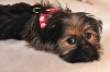 Shorkie, 5 Months, Black, Tan and Gold