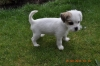 Shorkie, 14weeks, white/brown