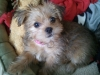 Shorkie, 3 months, red sable