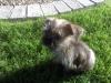 Shorkie, 4 months, Tri