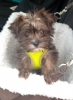 Shorkie, 3 months, chocolate