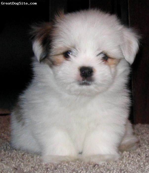 Shorkie, 8 weeks, white, pup