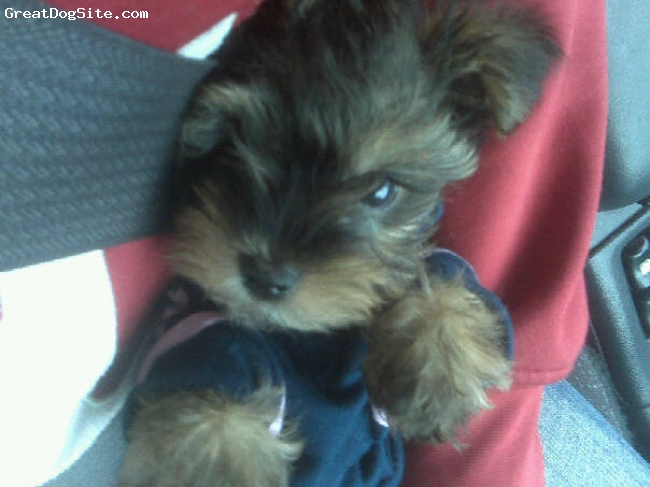Shorkie, 2 months, brown black, She's BEAUTIFUL! I'm sooo in love.
