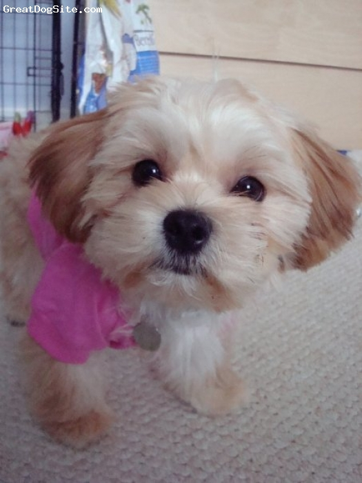 Shorkie, 1yr, Buff/ Golden, This is my 10lb Shorkie Bella. She is the cutest thing I have ever seen and a complete sweetheart. She's the perfect pooch packed into a small teddy bear type body.