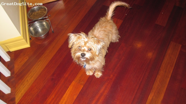 Shorkie, 6 months, Caramel, He is a fun puppy. Super playful and lovable.He is soo smart and he learns tricks really easy. Not to mention he is adorable!