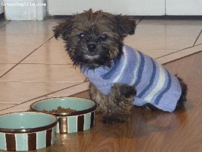 Shorkie, 12 weeks, beige /black, Adorable, Playful and Loving!