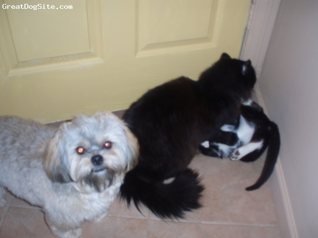 Shorkie, 1, black, grey, white, and copper, my wookie is 10lbs... and the cat behind him is a wopping 16 and they cuddle, clean, and wrestle... he is really the best!