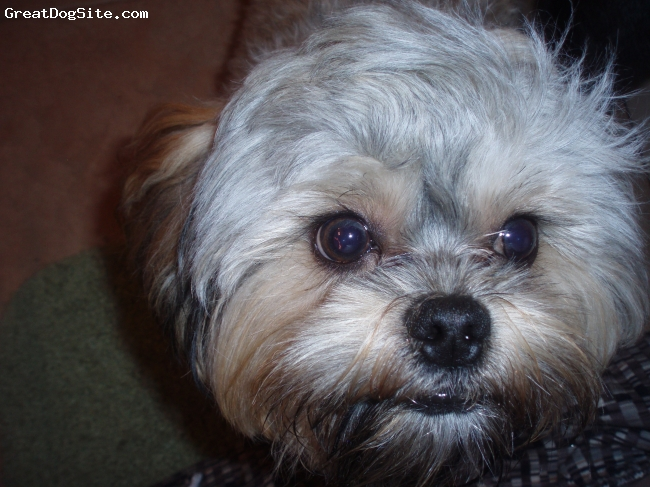 Shorkie, 1, black, grey, white, and copper, thats the face of loooooove