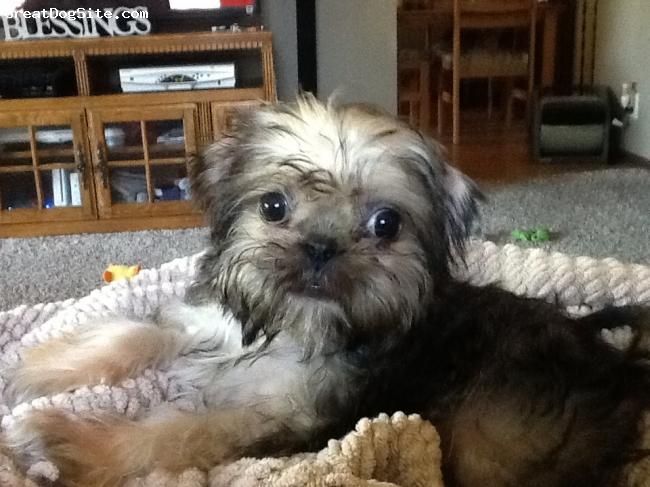 Shug, 7 months, Tan, Such a cutie