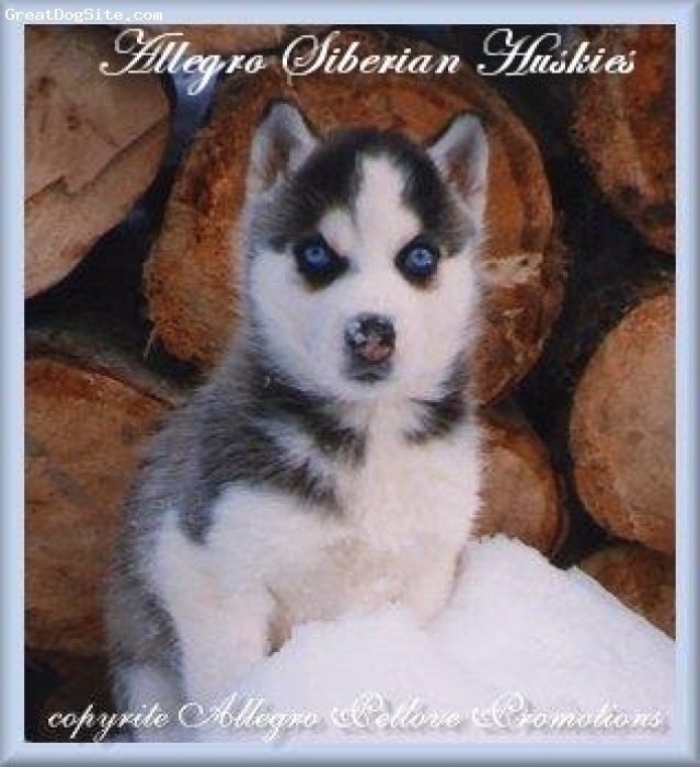 Siberian Husky, 14 wks, Black and White, Black and White blue eyed siberian husky puppy from Allegro Siberians