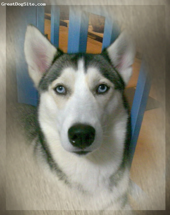Siberian Husky, 3 YEARS OLD, WOLF, She is an adopt dog. staying with me about 1 yeas and I am the forth owner.