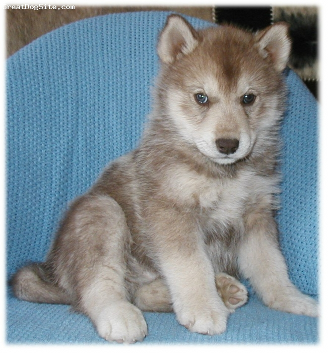 Siberian Husky, 5 weeks and up, ALL, WE AVE A LOVELY VARIETY TO CHOOSE FROM COME ON BY THE WEBSITE AND TAKE A LOOK.