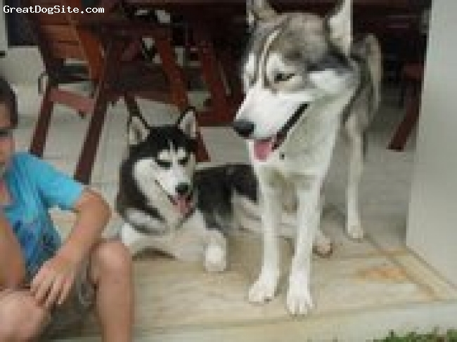 Siberian Husky, both 2 years old, male is grey/white, blue eyes... female is black/white, brown eyes, very energetic, and both are very telented very smart dogs