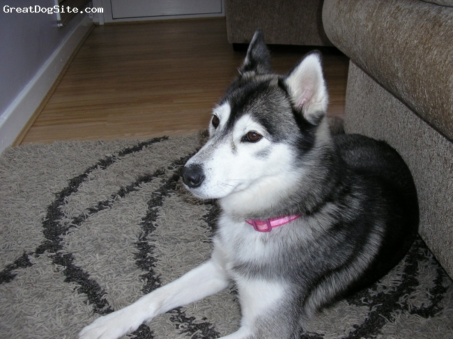 Siberian Husky, 5, grey/white, very playful and i don't like cats