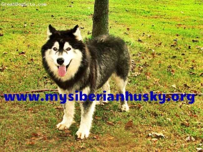 Siberian Husky, 2 years, Black/white, BEAUTIFUL SIBERIAN HUSKY WE LOVE HIM..