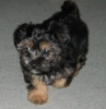 Silkese, 8 weeks, black & tan