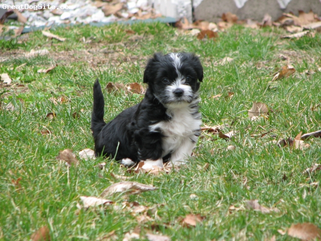 Silkese, puppy, black and white, great pup