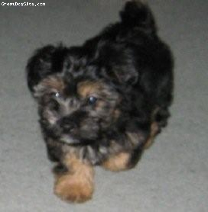 Silkese, 8 weeks, black & tan, sweet little guy, loves the whole family and always wants to be with you