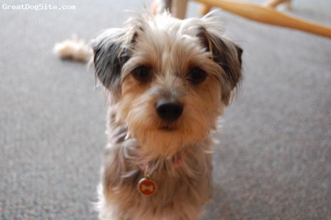 Silkshund, 1 1/2 year old, Silver/Grey/Tan, Great dog!!