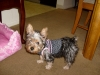 Silky Terrier, 3 months, brown,silver and black