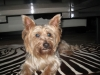 Silky Terrier, 2 1/2 yrs, blue/gray, tan