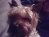 Silky Terrier, 1 year, silver and tan