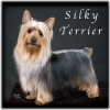 Silky Terrier, Unknown, Terrier