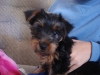 Silky Terrier, 3, Black and tan