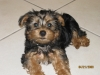 Silky Terrier, 5 MONTHS, BLACK AND GOLD
