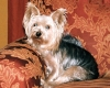 Silky Terrier, almost 2 yrs. old, Tan and Brown