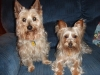 Silky Terrier, 2 yrs and 5 yrs, silver and beige