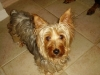 Silky Terrier, 4, brown blue