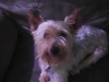 Silky Terrier, 4, Silver/Gold