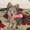 Silky Terrier, 12, back, gray, tan