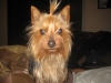 Silky Terrier, one year, brown/ black/ gray