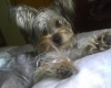 Silky Terrier, 1 1/2 years old, silver, gray, white and some brown