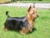 Silky Terrier, 11, blue and tan