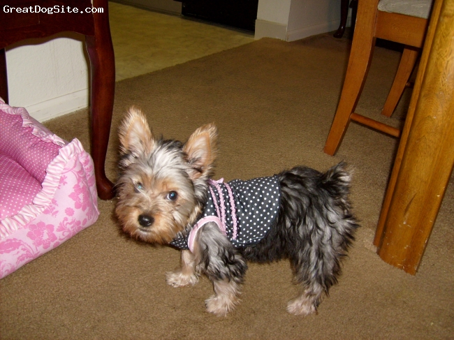 Silky Terrier, 3 months, brown,silver and black, crazy