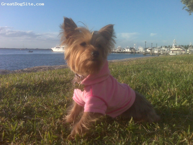 Silky Terrier, 3, Tan & Silver, Lucy enjoying a nice day at the park in her hometown, Miami Beach, FL