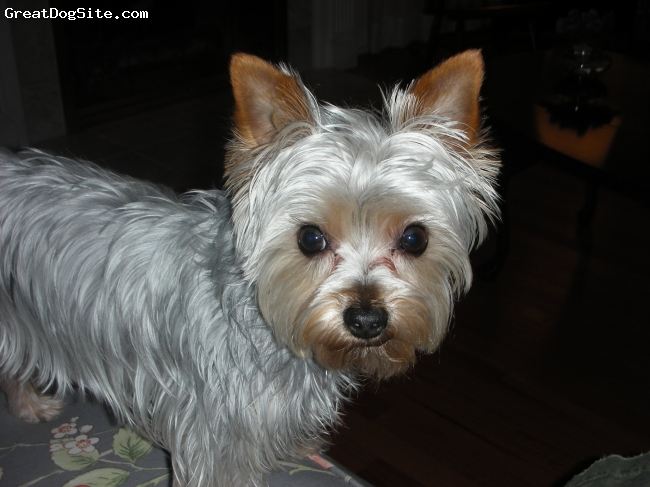 Silky Terrier, 4, silver, the sweetest dog in the world!