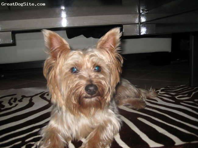 Silky Terrier, 2 1/2 yrs, blue/gray, tan, Loves to kiss, very sweet, shares his food with other dogs and loves to walk 3 miles a day.