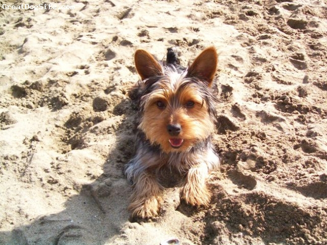 Silky Terrier, 1,5 Year, Brown and black, love the beach