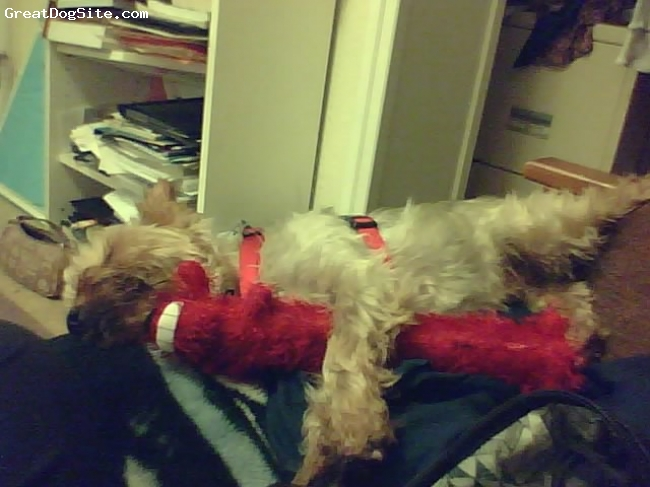 Silky Terrier, 1 year, Blue and tan, he loves his red wienerdog toy!