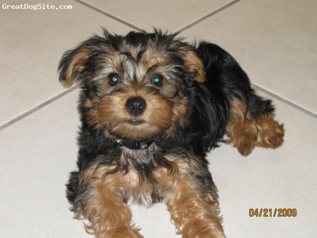 Silky Terrier, 5 MONTHS, BLACK AND GOLD, HE'S CUTE