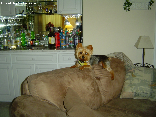 Silky Terrier, 6, blonde face tan legs ,body silver and dark with lite tan, He is the Love of our life. I bought him for my wife but he took to me and he will not let me out of his site.