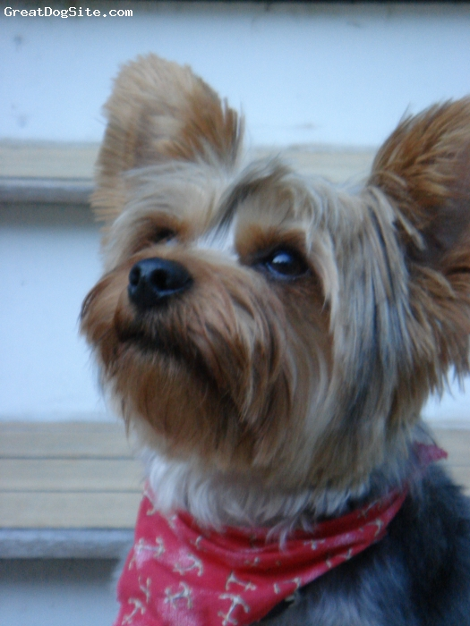 Silky Terrier, 1 year 5 months, Black/Grey and Tan, Ever watchful... He is the best!